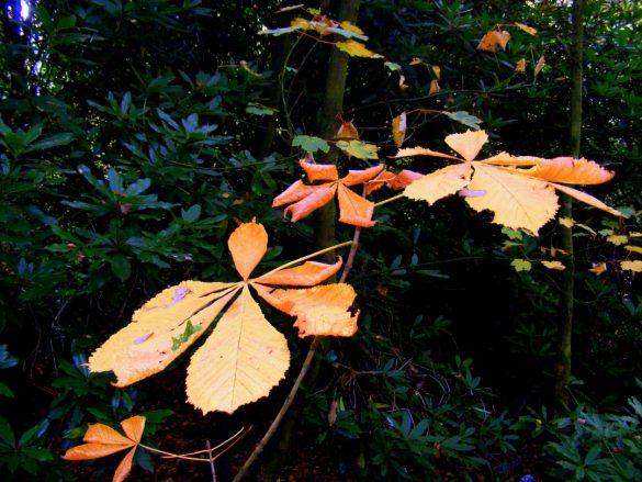 Russet coloured autumn leaf
