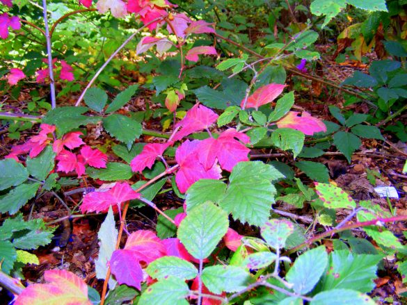 Bush with pink autumn leaves