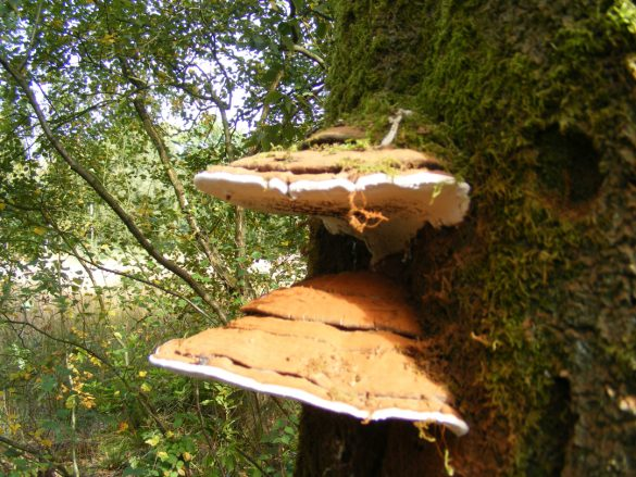 Fungi growing out of tree trunk