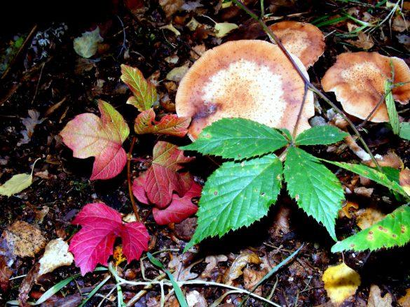 Large mushrooms growing wild